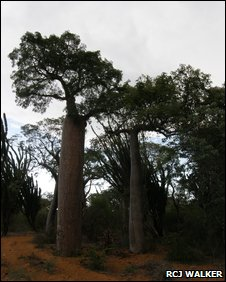 Boab trees in the Mikea forest of Madagascar