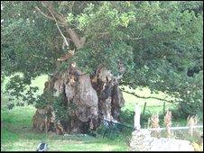 Pontfadog Oak