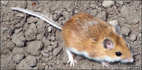 Light coloured deer mouse