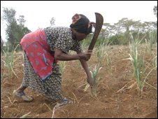 Kenyan farmer in maize field