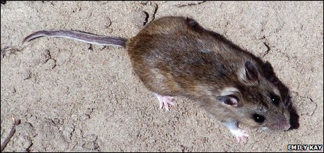 Dark coloured deer mouse