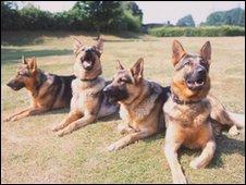 German Shepherd dogs (generic)