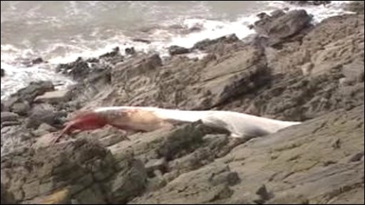 Dead whale at Knapp, Barry