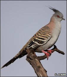 Crested pigeon (Geoffrey Dabb)