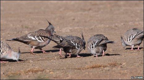 Crested pigeons (Geoffrey Dabb)