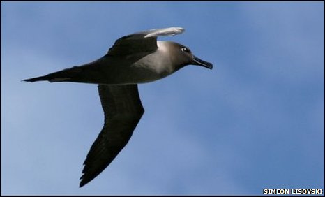 Light-mantled sooty albatross (Phoebetria palpebrata)