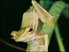 Rare nest-making frog (Photo copyright Dr SD Biju - agreed for use on this story only)