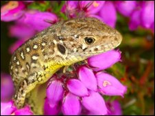 The sand lizards were bred in captivity so they could be released into the wild