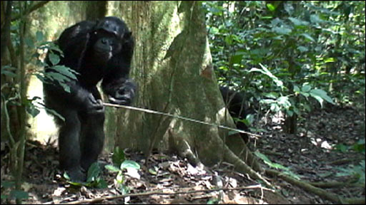 Chimp using tool to extract ants from nest (Morgan/Sanz, Goualougo Triangle Ape Project, Nouabale-Ndoki National Park, Republic of Congo)