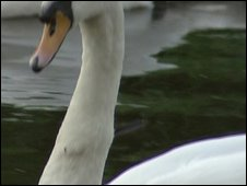 Swan with bolt through its neck