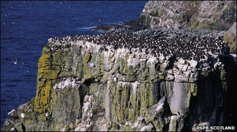 Guillemots/RSPB Scotland