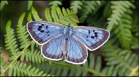 large blue butterfly (David Simcox/CEH)