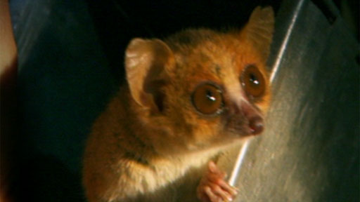 Mouse Lemur