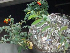 Tomatoes growing in waste toilet paper