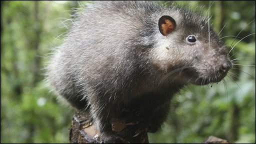 Bosavi woolly rat caught on camera