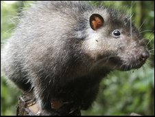 Bosavi woolly rat (BBC)