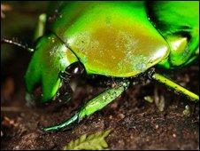 Flower chafers (Scarabaeidae: Cetoniinae)