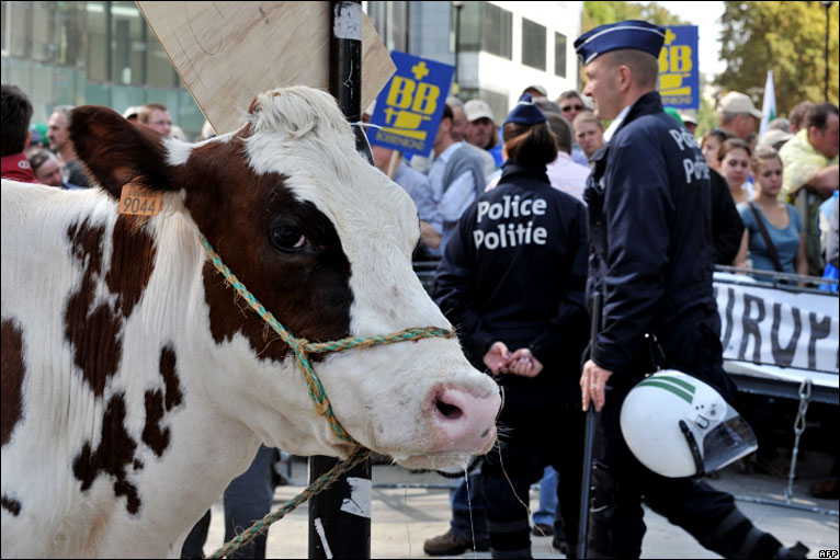 cow in the protest