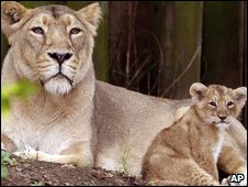 Lioness with her cub at London Zoo