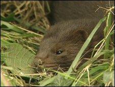 Generic mink