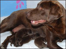 Kate Pong, the chocolate Labrador with puppies