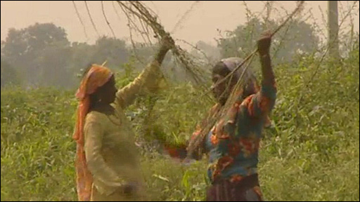 Workers collecting sugar cane