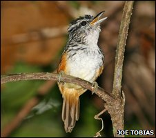 Male Peruvian antbird (Joe Tobias)
