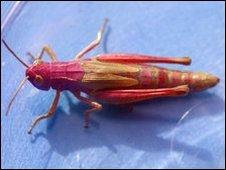 Pink grasshopper (pic: Ben Lee)