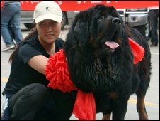 Ms Wang with her Tibetan Mastiff at Xian airport - 9 September 2009