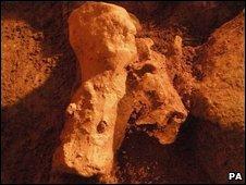 Bones from a woolly rhinoceros