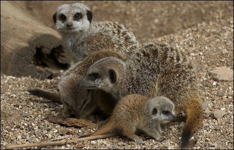 Meerkats at Bristol Zoo Gardens