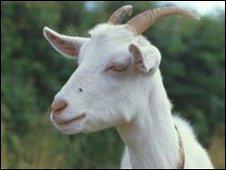 Goat (generic)