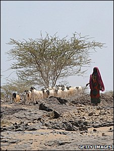 Woman herding goats through a drought-hit landscape (Getty Images)