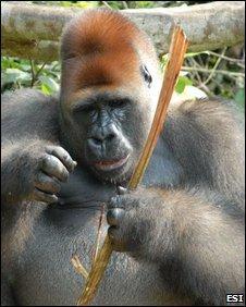 Male western lowland gorilla (Gorilla gorilla gorilla)