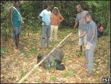 Poached western lowland gorilla (Gorilla gorilla gorilla)