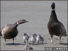 Pacific brant geese (Image: USGS/Jeff Wasley)