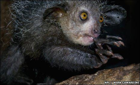 Aye-aye (Daubentonia madagascariensis)
