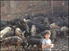 Pigs bred in Zaraib, Cairo (Photo: Muslim Qandeel/BBC)