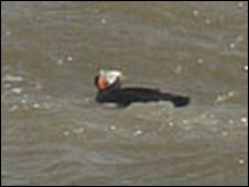 Tufted puffin at Oare Marshes nature reserve [pic: Murray Wright]