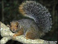 Svynnerton's bush squirrel (Paraxerus vexillarius)