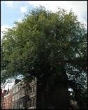The Marylebone Elm