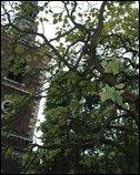 St. James' Church Indian Bean Tree