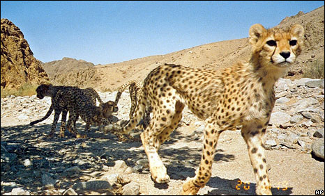Asiatic cheetah in Iran