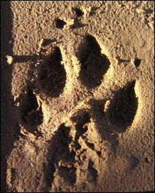 cheetah paw print