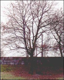 The original Theresienstadt tree