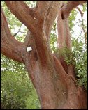 The Hybrid Strawberry Tree