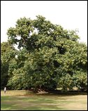 Spanish Sweet Chestnut tree