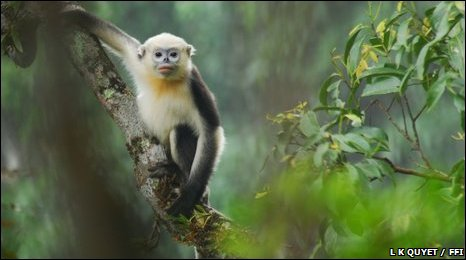 Tonkin snub-nosed monkey (Image: L K Quyet/Fauna and Flora International)