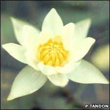 Nymphaea tetragonoloba lotus (P Tandon)