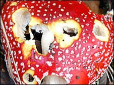 Fly Agaric at Oakwell